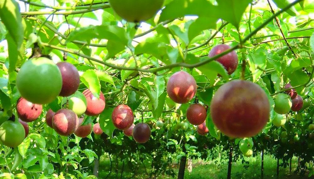 2020: Xuất khẩu 5 tỷ USD rau quả